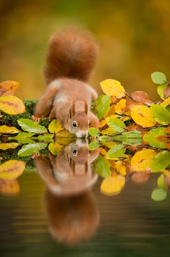 drinking-squirrel