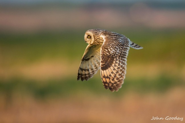 flying-owl-650x433
