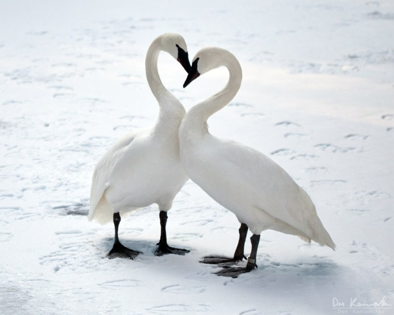 swan-love-1024x819